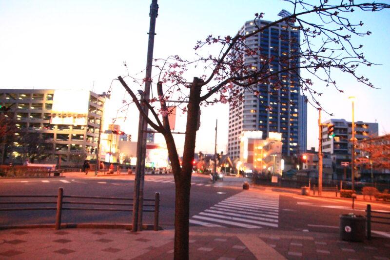 川口元郷駅 安行桜
