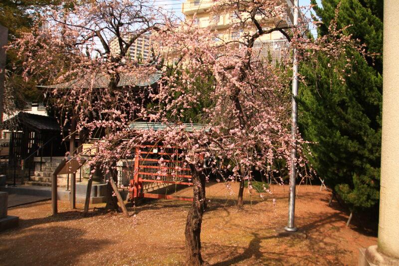枝垂れ梅の花