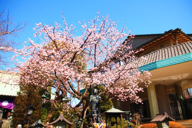 密蔵院 桜