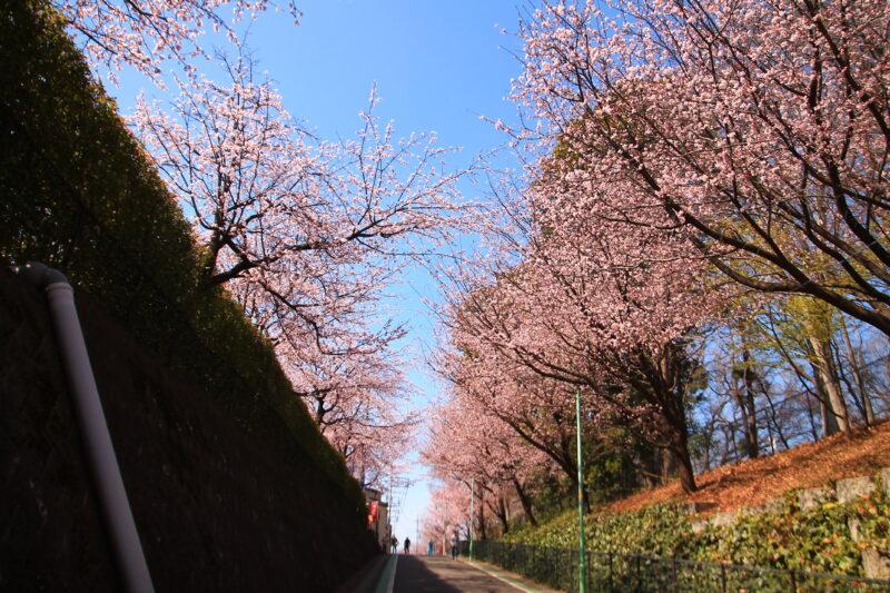 安行原自然の森 桜