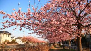 伝右川沿い 安行出羽公園横 安行寒桜