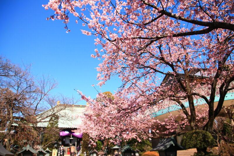密蔵院 安行桜
