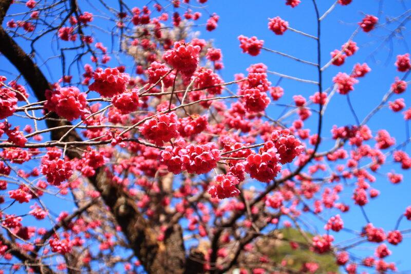 密蔵院 寒緋桜