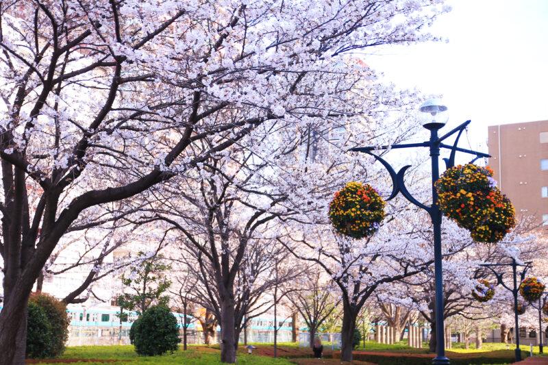 川口西公園(リリアパーク) 桜