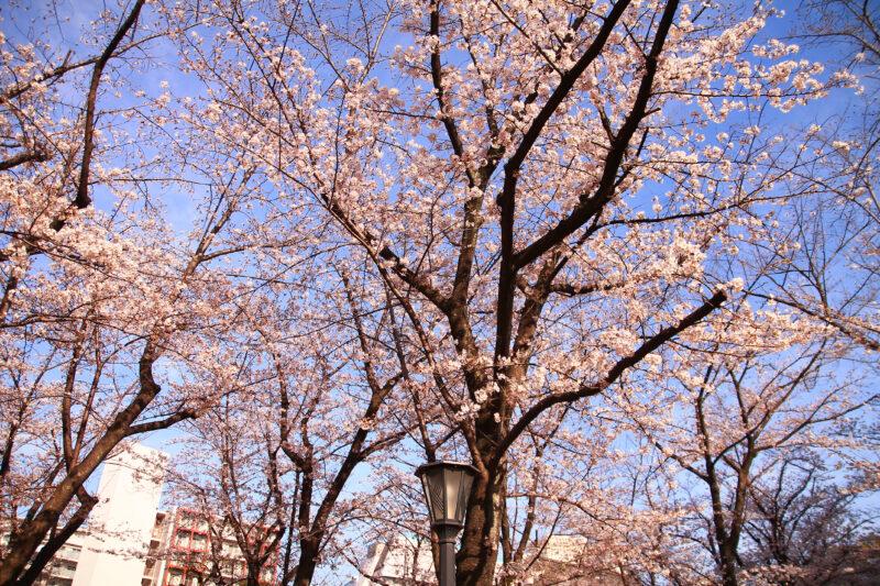 川口西公園(リリアパーク)の桜