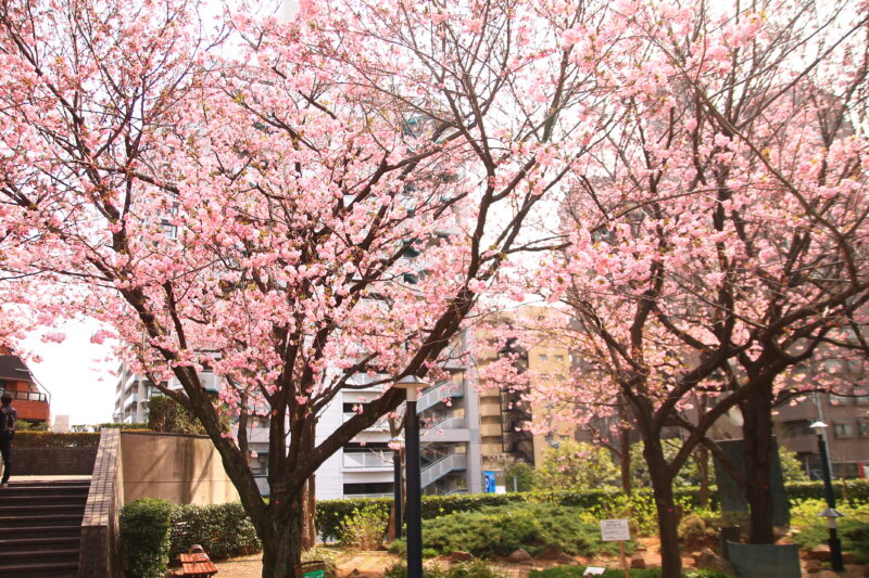 川口西口 花と彫刻の広場 八重桜